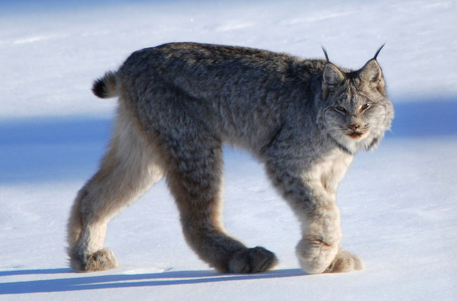 Photo of a Canada Lynx walking in the snow