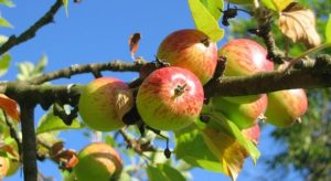 Apples growing on an apple tree